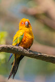 Yellow parrot Stock Images