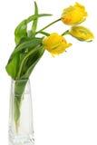 Yellow parrot tulips Royalty Free Stock Photos