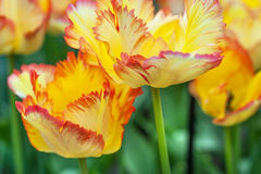 Yellow Parrot tulips. Parrot tulips with red edge yellow petals. Selective focus Royalty Free Stock Photography