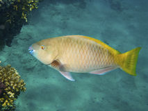 Yellow Parrotfish Stock Photo