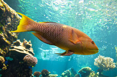 Yellow parrotfish (Scaridae) underwater Royalty Free Stock Image