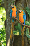Yellow parrots. With blur background Royalty Free Stock Photos