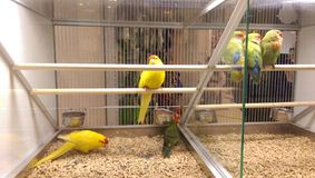 Yellow parrots and love birds in a pet shop. Eating and sleeping Stock Images