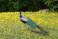 Yellow Path. Beautiful peacock walking on yellow flower path Stock Image