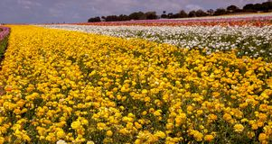 Yellow path of flowers Royalty Free Stock Photos