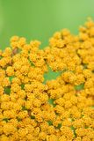 Yellow flowers. Macro shot of bright yellow flowers on green background Stock Photography
