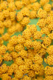 Yellow flowers macro. Background of tiny yellow flowers Royalty Free Stock Photography
