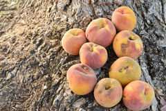 Yellow peach harvest Stock Images