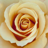 Yellow / Peach / Orange Rose Close Stock Photos