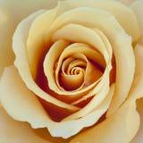 Yellow / Peach / Orange Rose Close Stock Photos
