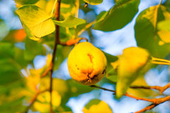 Yellow pear. On the tree in the garden royalty free stock photo