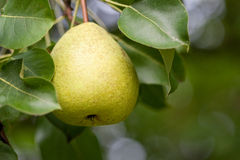 Yellow pear on branch with leaves in summer Royalty Free Stock Image