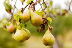Yellow pear on a branch. Season yellow pear on a branch Royalty Free Stock Images