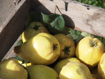 Yellow pear. Fresh harvested yellow pears in a box Stock Images