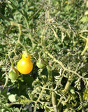 Yellow Pear tomato, Solanum lycopersicum Royalty Free Stock Photography