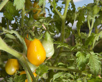 Yellow Pear Tomatoes. Yellow Pear-shaped Tomatoes growing on a plant Stock Images