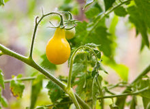 Yellow pear tomatoes in the garden Royalty Free Stock Photo