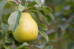 Yellow pear in the tree branch Royalty Free Stock Images