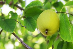 Yellow pear on a tree close-up, outdoors stock photos