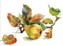 Yellow pears. Beautiful, ripe yellow pears on a white background vector illustration