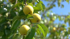 Yellow pears on branch. Sunshine and tree leaves. Fruits grown without pesticides. Ripe, sweet and juicy stock footage
