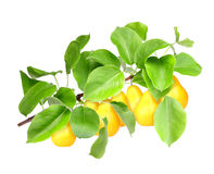 Yellow pears on green branch Royalty Free Stock Image