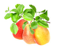 Yellow pears on green branch Royalty Free Stock Images
