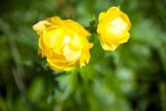 Yellow peonies Stock Photography