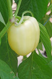 Yellow pepper Royalty Free Stock Image