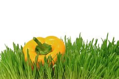 Yellow pepper in green grasses Royalty Free Stock Image