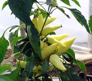 Yellow pepper plant Royalty Free Stock Image