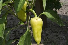 Yellow pepper plant Royalty Free Stock Images