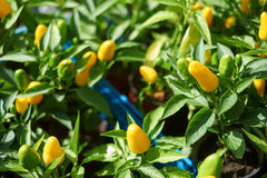 Yellow pepper on the yard. Stock Photos