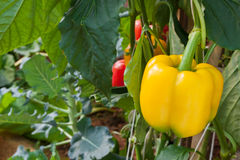 Yellow peppers growing in the garden Royalty Free Stock Images