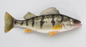 Yellow Perch Stock Photos