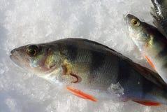 Fish leech on a perch Royalty Free Stock Photo