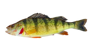 Yellow Perch Isolated Stock Images