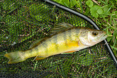 Yellow Perch. A nice Yellow Perch is caught in a Wisconsin lake and sits in the fishermen's net stock image