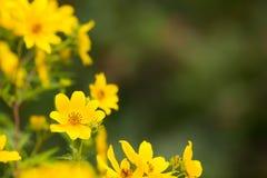 Yellow perennial heliathus Stock Image