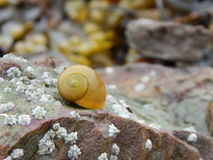 Yellow Periwinkle. A macro shot of a flat yellow periwinkle resting on a rock that has been covered by acorn barnacles Stock Photos