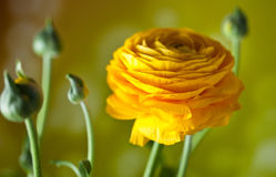 Yellow Persian Buttercup royalty free stock photo