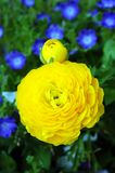 Yellow Persian Buttercup Royalty Free Stock Image