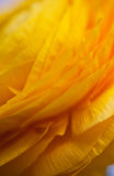 Yellow Persian Buttercup Flower Ranunculus asiatic Stock Image