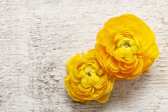 Yellow persian buttercup flowers (ranunculus) on wooden backgrou Royalty Free Stock Images