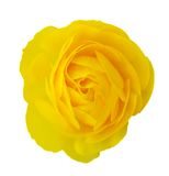 Yellow Persian Buttercup Royalty Free Stock Images