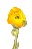 Yellow Persian Buttercup (Ranunculus Asiaticus) Royalty Free Stock Image