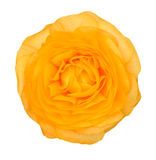 Yellow Persian Buttercup Stock Photography