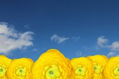 Yellow persian buttercups Royalty Free Stock Photography