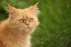 Yellow Persian cat. Portrait, outside shot,  with blur green background Stock Photo