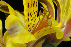 Yellow Peruvian lily. Astroemeria flowers Royalty Free Stock Photography